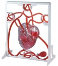 Circulatory system (Cmo funciona el corazn).
