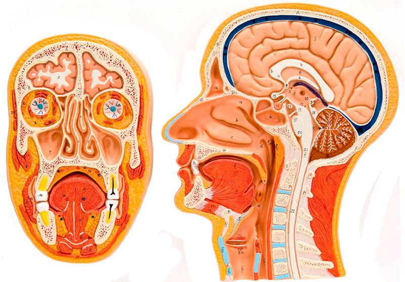 Fig. 2: Modelo anatómico para ver los órganos del Habla y de la Deglución