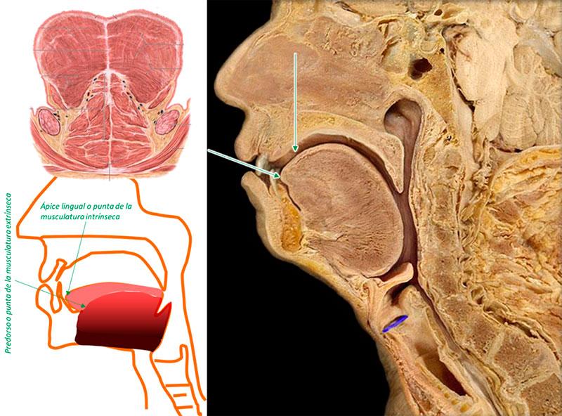 Fig. 4: Lengua con doble estructura y dos puntas, el ápice lingual o punta de la parte superficial y el predorso o punta del cuerpo.
