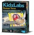 Human Torso Anatomy (Anatomía del Cuerpo Humano)
